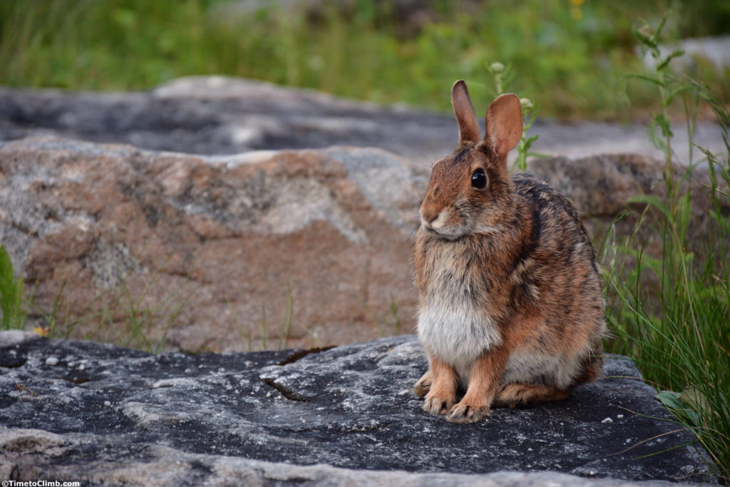Rabbit at Spruce Knob WV hiking allegheny mountains