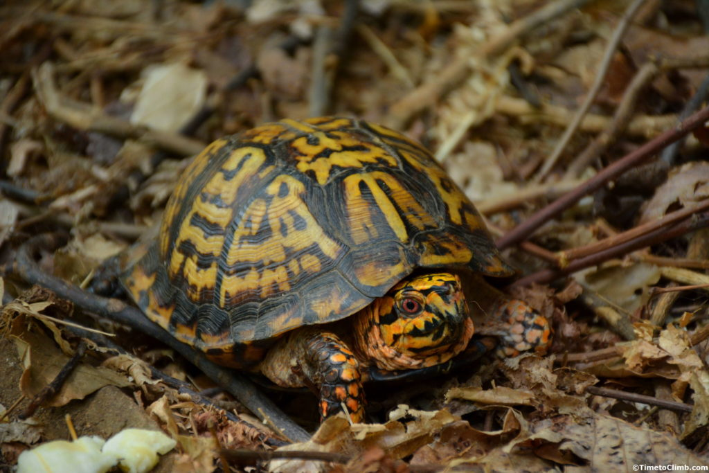 Yellow Boxer turtle in Muir Valley KY