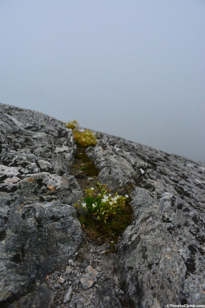white alpine flowers blooming in Alpine tundra along the Sunset Ridge Trail hiking Mt. Mansfield Vermont