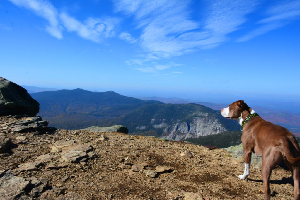 The Franconia Loop hike is also pretty dog friendly! A pup checks out the view from Mount Lincoln.